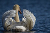 Swan, June 13 2012, Bay of Quinte