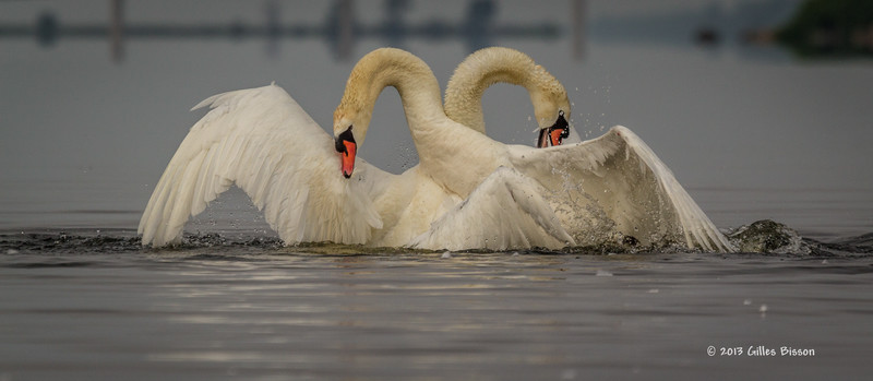 Mating Mute Swans, July 9 2013, Bay of Quinte, #2697, Canon T3i-100-400mm-1/1600-f7.1-ISO 200-LR5