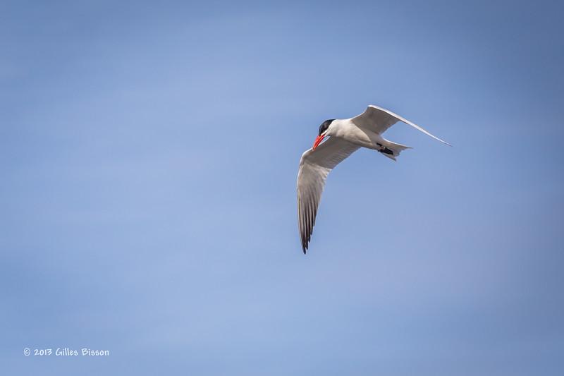 Caspian Tern, Bay of Quinte, May 7 2013,#5979