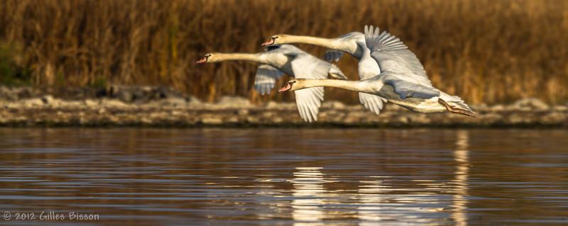 swans in flight, October 26 2012, Bay of Quinte