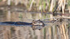 Muskrat, May 17, 2021, Bay of Quinte, Blessington Creek, Sony A7RIV, 100-400mm, 1.4X, 1/1250, F8.0, ISO 500