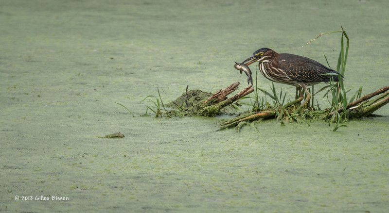 Green Heron fishing, Bay of Quinte, Aug 22 2013, #5146, Canon t3i-100-400mm-1/640-F5.6-ISO200-LR5
