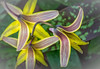 Trout Lily, Beaver Meadows Conservation Area, May 11, 2017, Canon 6D, 100mm macro, 1/60, F13, ISO 640