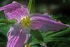 Purple trillium, Beaver Meadows Conservation Area, May 14 2015, Canon 7D Mark II, 100mm Macro lens, 1/80, F 8.0, ISO 160
