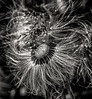 Coltsfoot seed head, Beaver Meadows conservation area, May 11, 2017, Canon 6D, 100mm macro lens, 1/320, F9.0, ISO 320