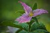 Purple trillium, Beaver Meadows Conservation Area, May 14 2015, Canon 7D Mark II, 100mm Macro lens, 1/200, F 7.1, ISO 800