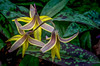 Trout Lily, Beaver Meadows Conservation Area, May 11, 2017, Canon 6D, 100mm macro, 1/80, F11, ISO 640