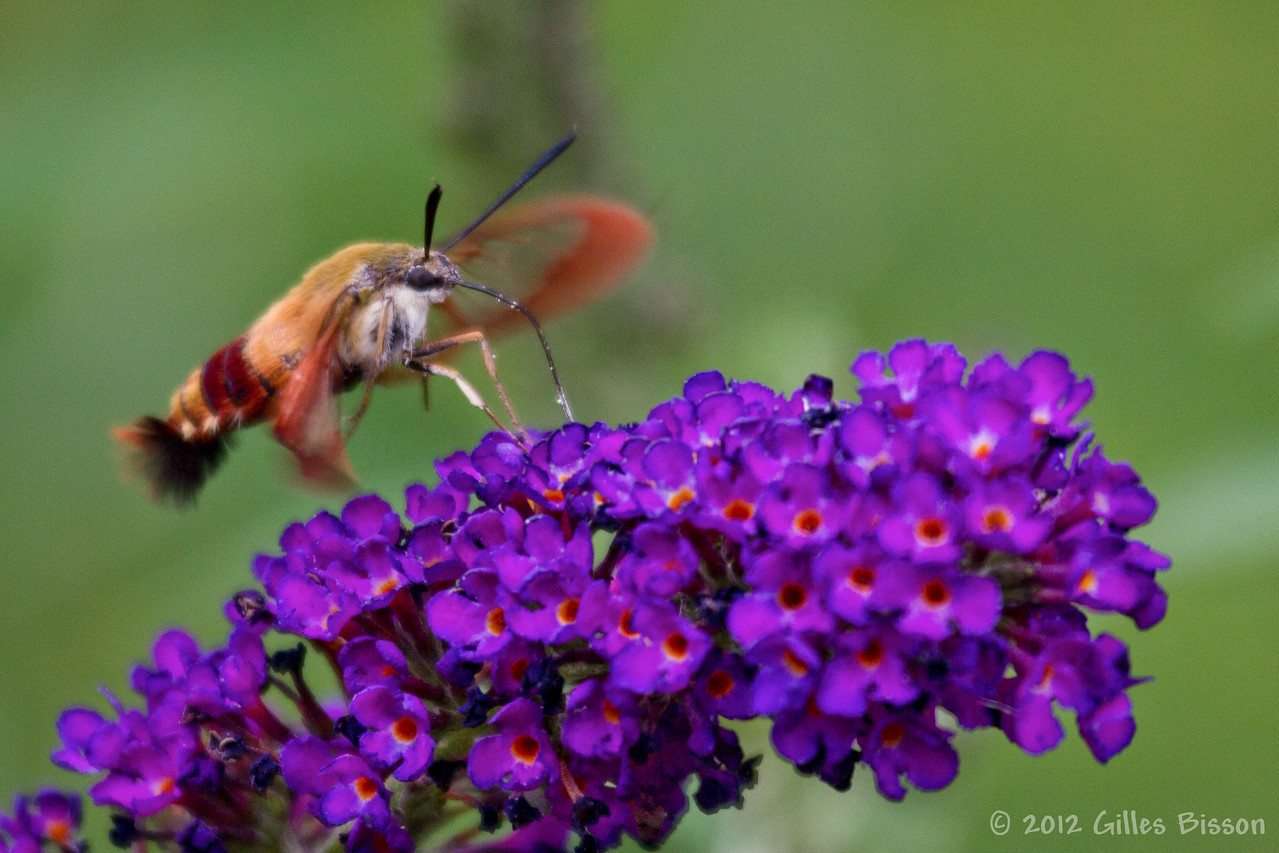 Clearwig Hummingbird Moth, July 27 2012, Belleville