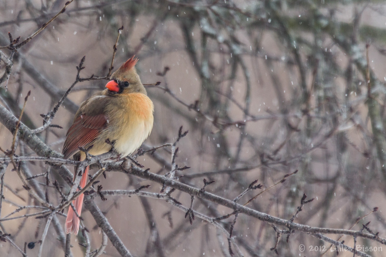 Northern Cardinal, Female, Feb 11 2012, Belleville Backyard