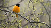 Baltimore Oriole, May 03, 2021, Belleville backyard, Sony AR7IV, 100-400mm, 1.4X, 1/500, F8.0, ISO 640