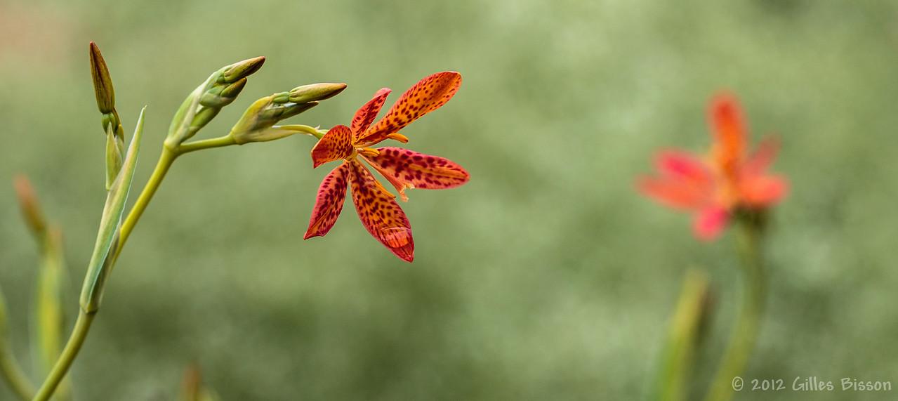 Lily, July 15 2012, Flower garden