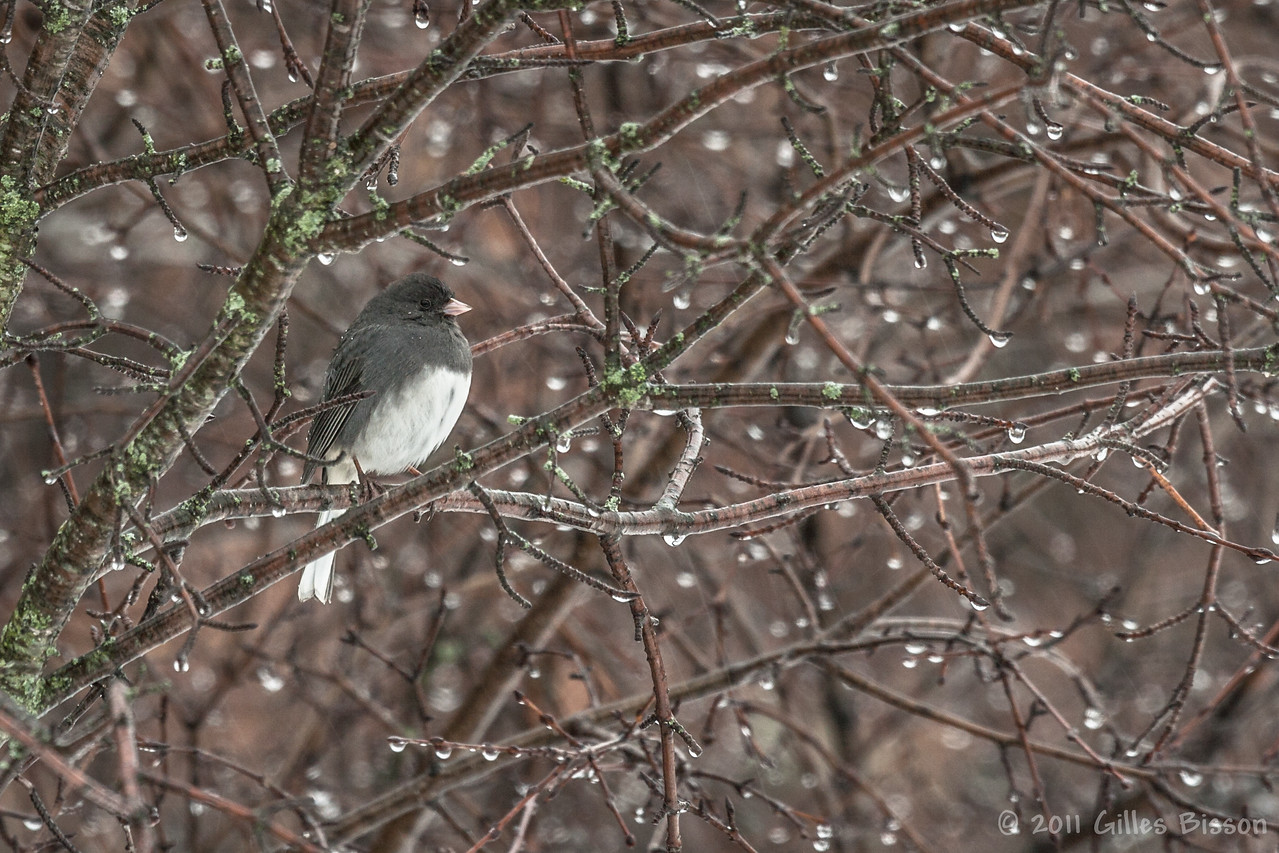 Dark-eyed Junco,March 10 2011, Belleville