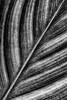 Canna Lily leaf in B&W, August 25, 2020, Sony AR7IV, 100-400mm, 1/250, F14, ISO 500