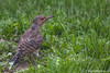 Northern flicker, August 18 2011, Belleville