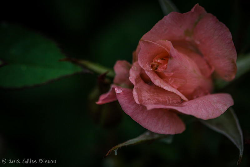 Water drop on rose, June 12 2012, Belleille