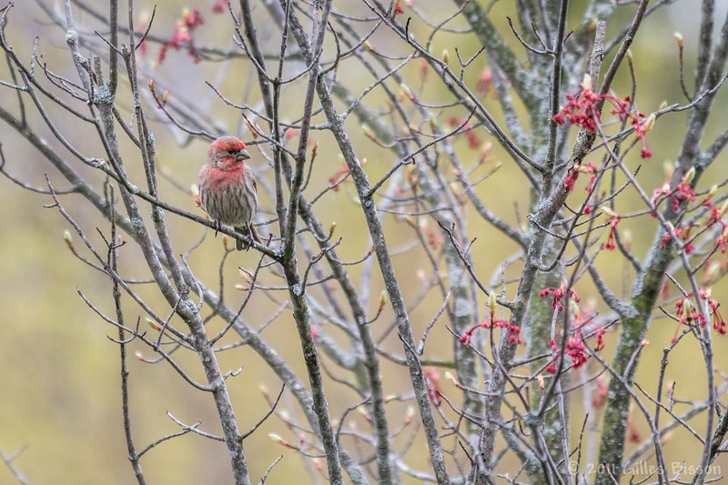 House Finch, May 04 2011,Belleville