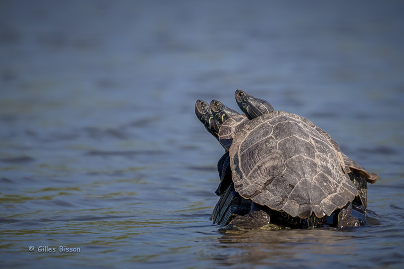 Map turtles,Blessingston Creek, May 17 2015, Canon 7D Mark II, 1/2500,F8.0,ISO800