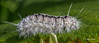 Hickory Tussock Moth Caterpillar, Sept 07 2014, Canon 6D, 100mm Macro, 1/1250,F11,ISO 800