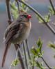 Female Northern Cardinal, April 05 2012, Belleville