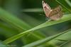 Wood Satyr Butterfly, July 27 2012, Belleville