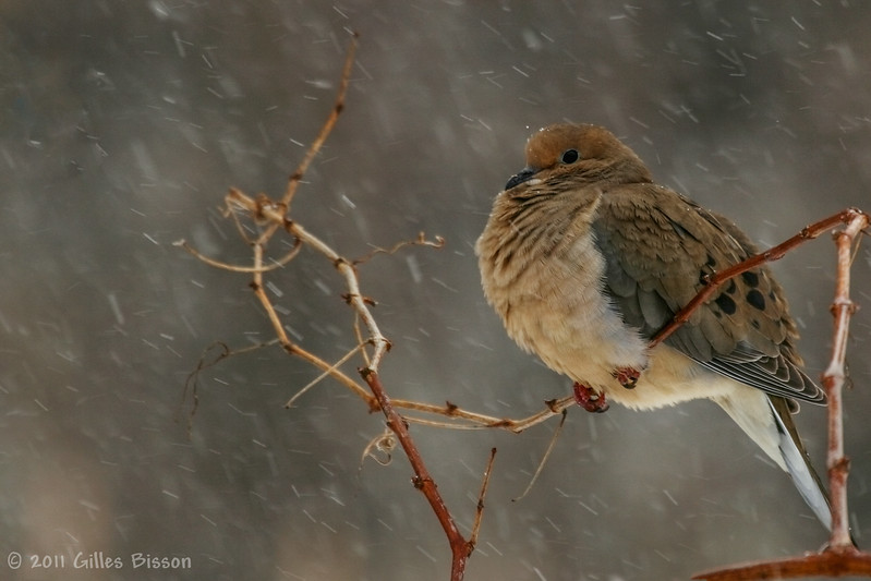 Mourning Dove, March 9 2011, Belleville
