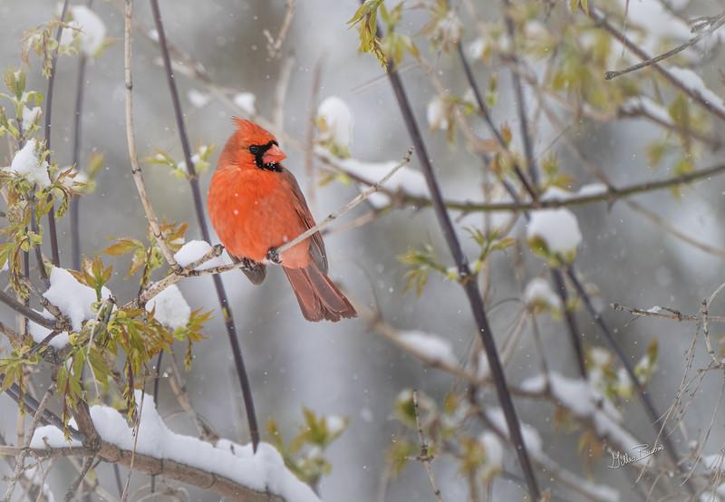 Cardinal, April 21, 2021, Belleville backyard, Sony Ar7IV, 100-400 mm, 1.4T, 1/1500,F8.0,ISO 1250