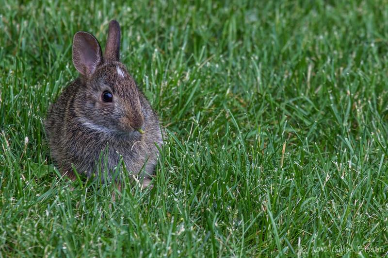 Rabbit, in backyard, June 04 2012, Belleville