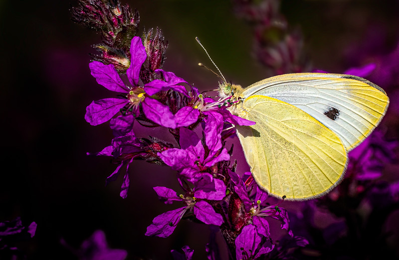 Cabbage White Butterfly, Aug 6, 2019, Belleville backyard, Canon 7D Mark 2, 100mm, close-up lens, 1/1250, F9, ISO 250