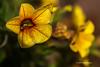 Backyard flowers, Belleville, June 16 2013, canon 6d 100mm macro-1/1250-f5.6-ISO 50, #9727