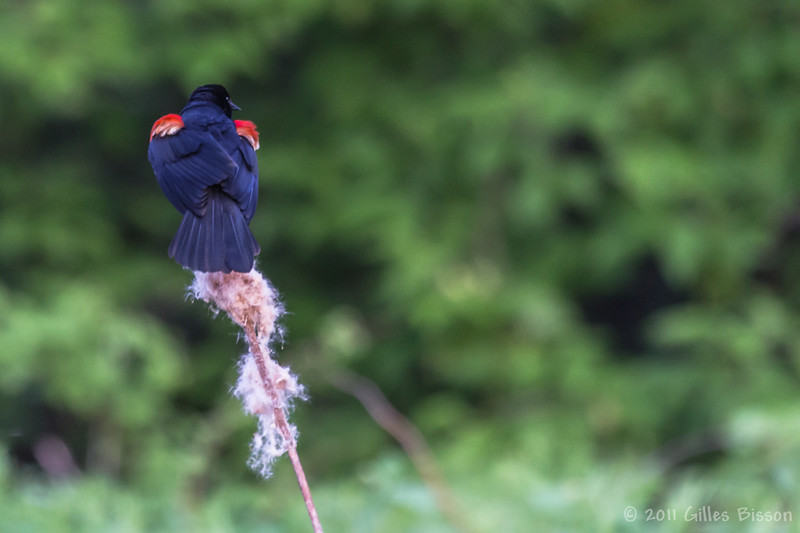 Red-winged Blackbird, May 29 2011, Belleville