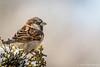 Sparrow, Feb 12 2012, Belleville Backyard