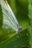 Cabbage White Butterfly, Backyard, Aug 07 2013, # 4171, Canon 6D-100mm macro-1/400-F8-ISO800-LR5