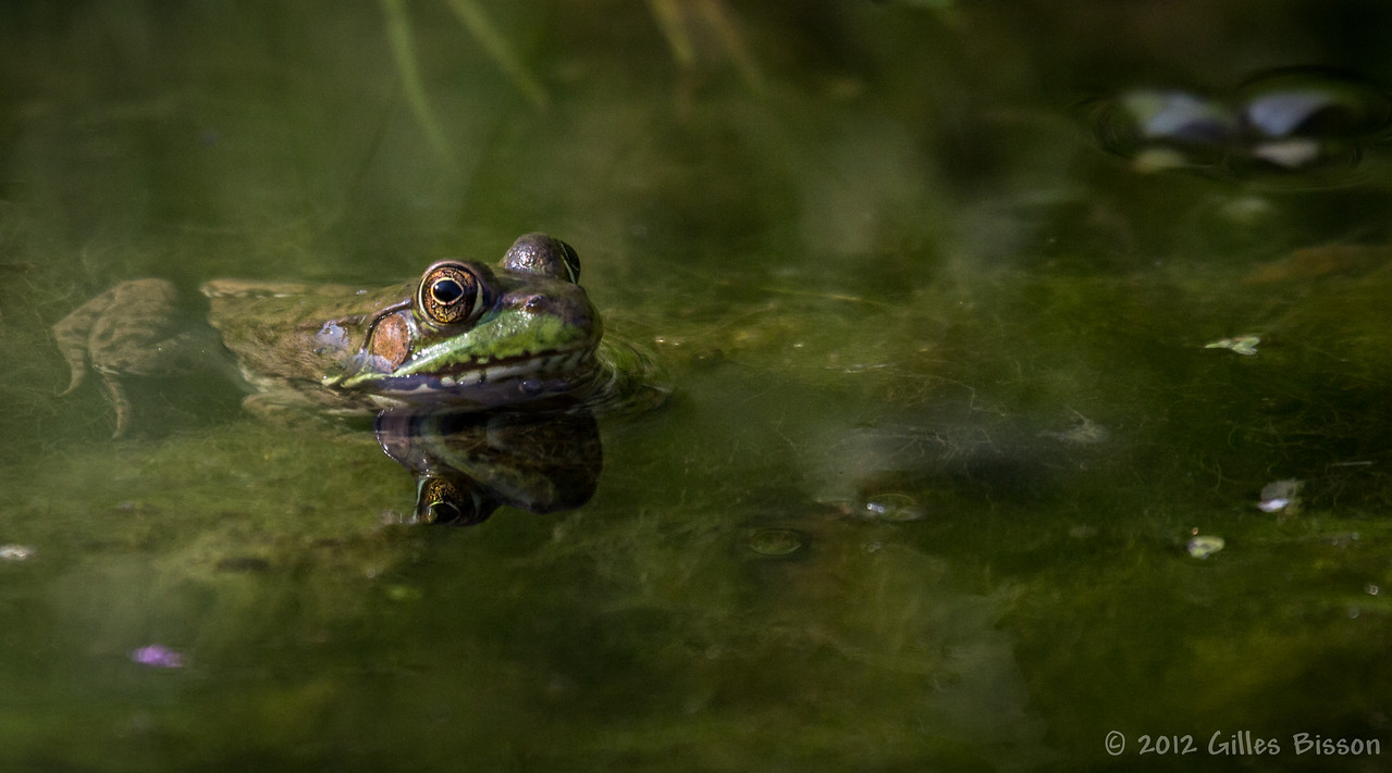 Frog, July 24 2012, Belleville