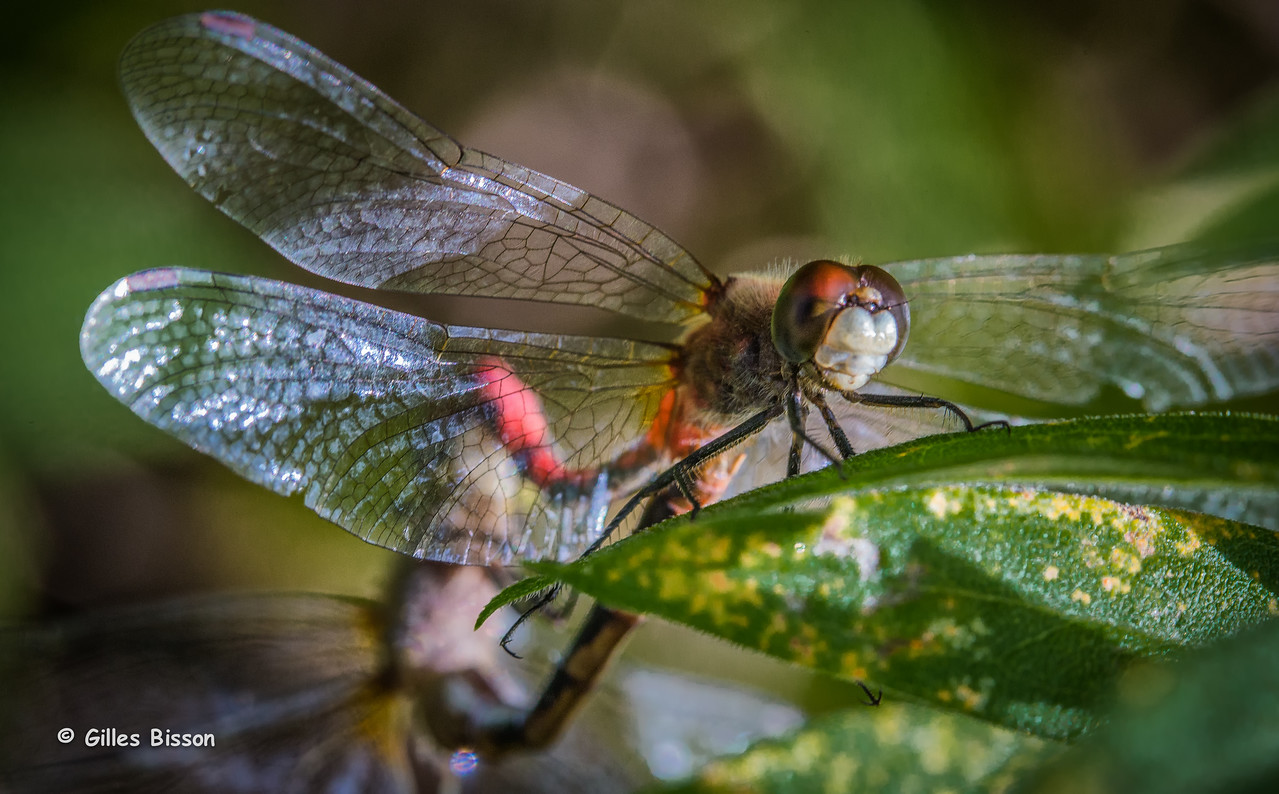 White-faced Meadowhawk Dragonfly, Sept 8 2014, Canon 6D, 100mm Macro, 1/160,F/9.0,ISO1000