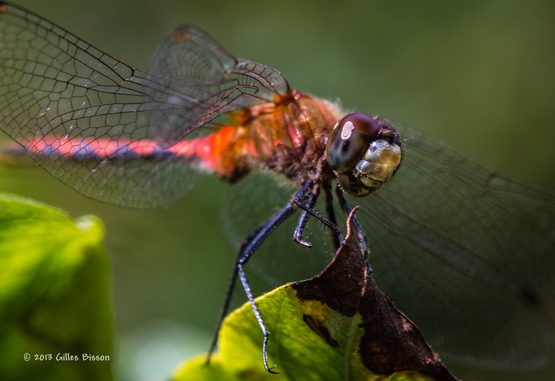 Dragonfly, Aug 17 2013, Canon 6D-100mm Macro-1/320-F10-ISO800-LR5