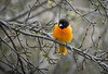Baltimore Oriole, May 03, 2021, Belleville backyard, Sony AR7IV, 100-400mm, 1.4X, 1/1000, F8.0, ISO 800