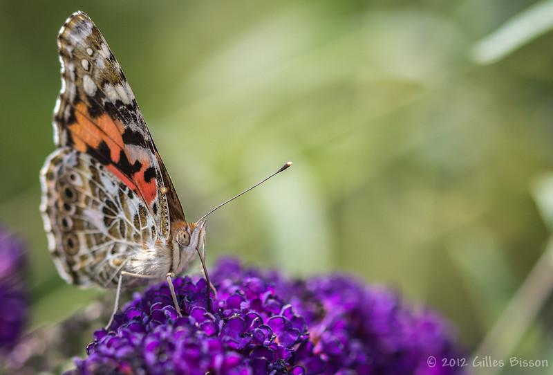Butterfly,August 15 2012, Belleville