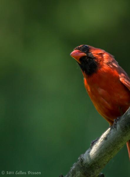 Male Northern Cardinal,June 06 2011, Belleville