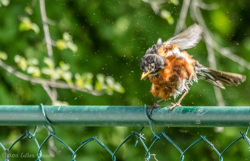 Wet Robin, June 04 2011, Belleville