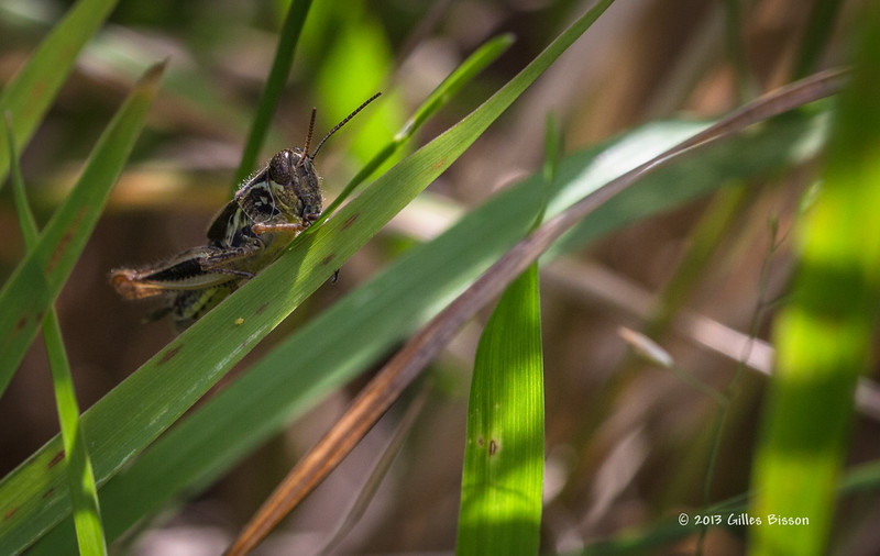 Grasshopper, backyard, Aug 16 2013, Canon 6D-macro 100mm-1/500-F8.0-ISO400-LR5