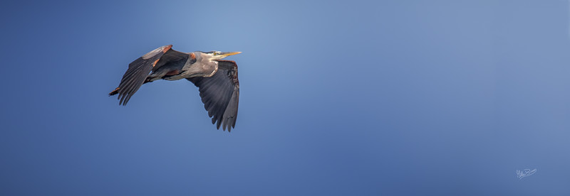 Great Blue Heron in flight, Bay of Quinte, June 12, 2018, Canon 7D Mark II, 100-400mm, 1/1250, F7.1, ISO 250