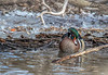 Wood Duck, Belleville waterfront trail, February 25, 2019, Canon EOS R, 100-400mm, 1/640, F7.1, ISO 800