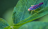 Candy striped Leafhopper, Sept 07 2014, Canon 6D, 100mm Macro,1/125,F7.1,ISO 1600