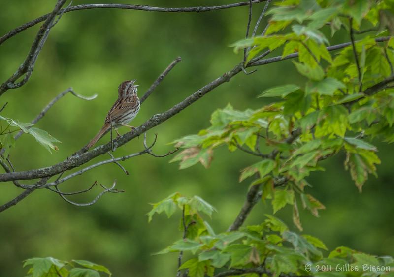 Song Sparrow, June 06 2011, Belleville