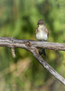 Eastern Phoebe, Bay of Quinte, July 20 2015,Canon 7D Mark II, 1/1250, F7.1, ISO 400