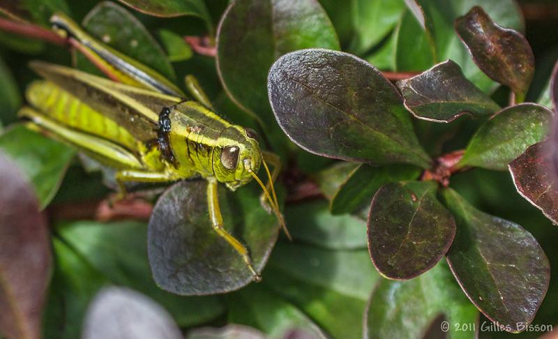 Grasshopper, August 26 2011, Belleville backyard