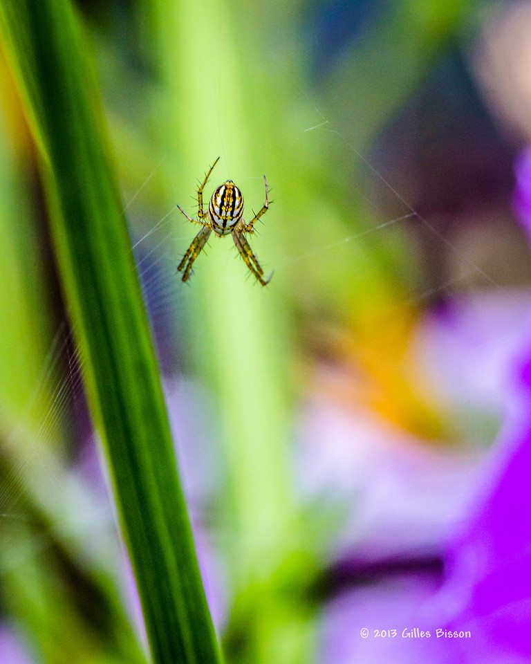Backyard spider, July 28 2013, #3372, Canon 6D-1/250-F8.0-ISO 1600- LR5