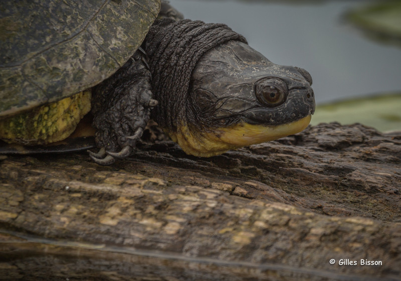 Blanding's Turtle, May 14 2014,Frink Centre
