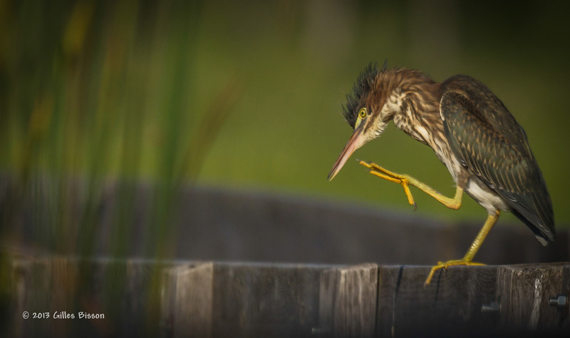 Green Heron, Frink Centre, July 15 2013, #3396, Canon T3i-1/1250-F7.1-ISO 200, LR5