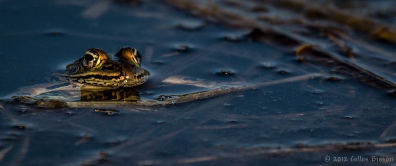 Frog,March 22 2012, Frink Centre